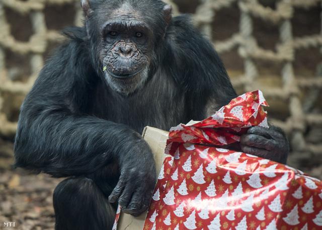 Egy csimpánz a gyümölcsöket rejtõ karácsonyi csomagját bontja ki a kifutójában