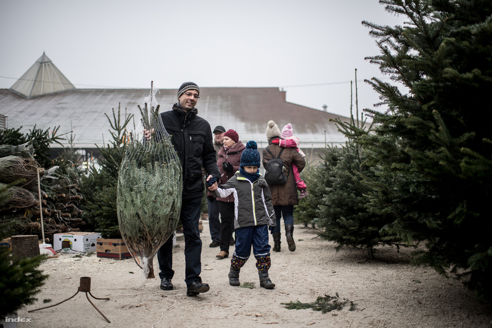 Advent utolsó vasárnapján megindul az igazi roham a karácsonyfákért. Kisgyermekes családok hosszas tanakodás után választják ki a megfelelő fát, aminél alapkövetelmény hogy nagyobb legyen náluk.