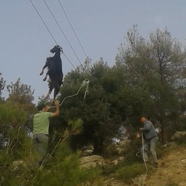 Márciusban néhány görög férfi lett figyelmes valami egészen szokatlan dologra egy hegyoldalban: egy telefonpóznáról a szarvánál fogva lógó kecskére