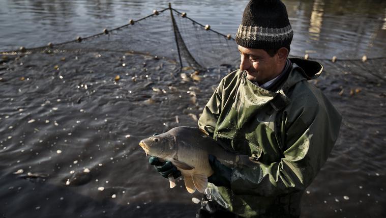 Honnan érkezik a karácsonyi hal?
