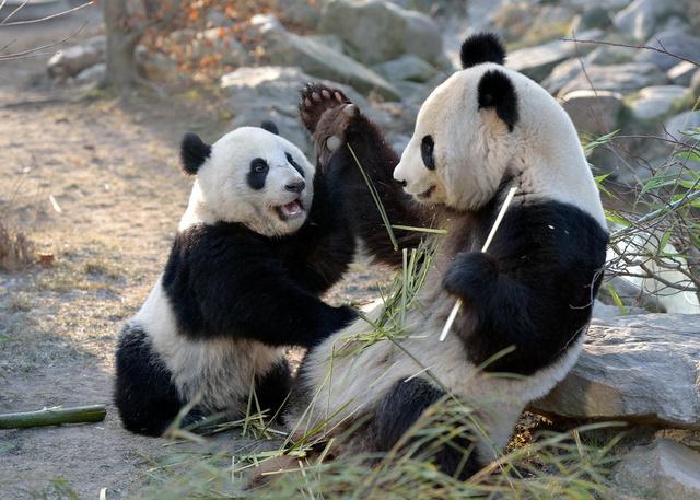 A schönnbrunni pandapár, itt még együtt