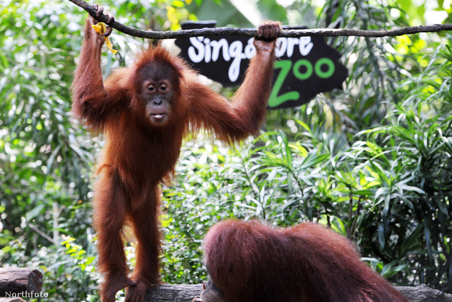 Az orángutánok szabadon vannak