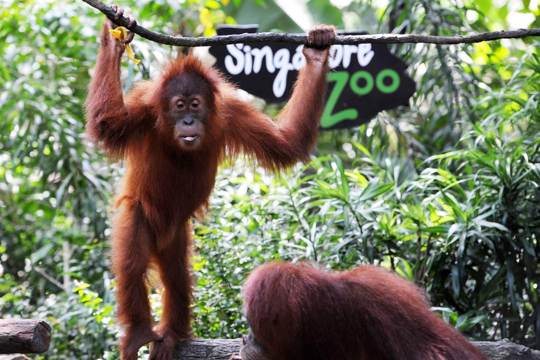 Noé is megirigyelné: szingapúri állatkert