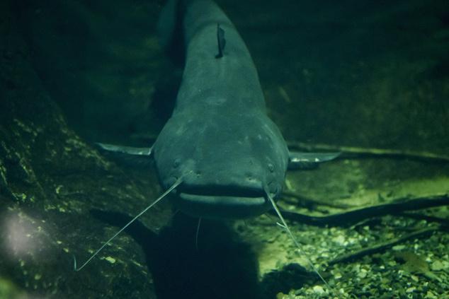 Harcsa a Tisza-tavi ökocentrum akváriumában Poroszlón