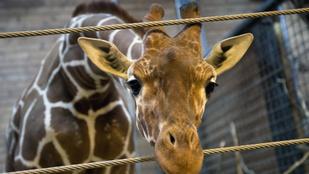 Bővítse biológiai ismereteit: így jön világra egy zsiráf