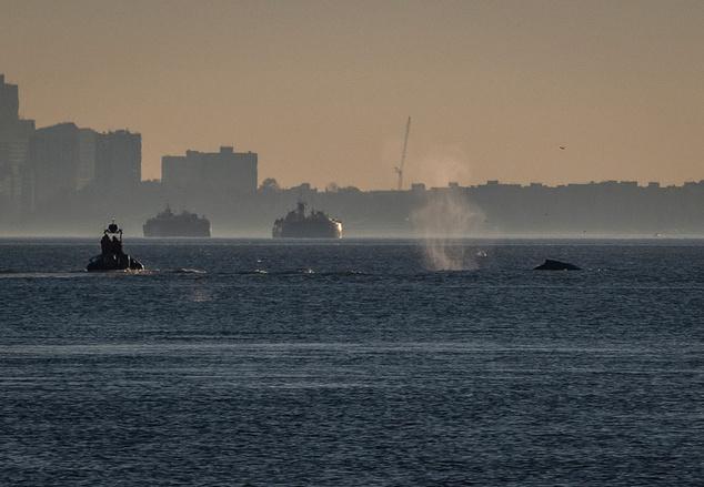 Tavaly november a Hudson folyóban jelent meg egy hosszúszárnyú bálna, amelyet a New York-i parti őrség hajójával igyekeznek nyílt vízre terelni