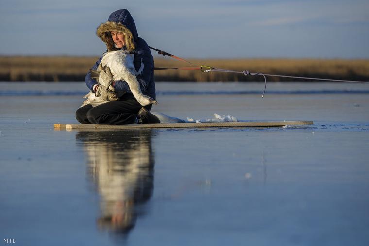 """Szücs Edit kollégáival indult a tóhoz, de mivel a férfiak alatt pár lépés után beszakadt a jég, ő mászott be a hattyúért.""""A hasánál volt odafagyva a jéghez, de célszerűbb volt a tollait letépkedni, mint körbevágni a jeget és azzal együtt kiemelni"""