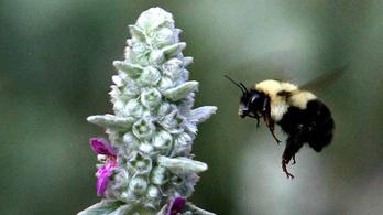Veszélyeztetett faj lett egy méh Amerikában