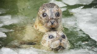 Meg se kottyan a nyíregyházi fókáknak a -18 fokos idő