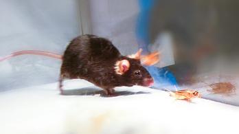 Gyilkos ösztönöket aktivál a lézer az egerekben