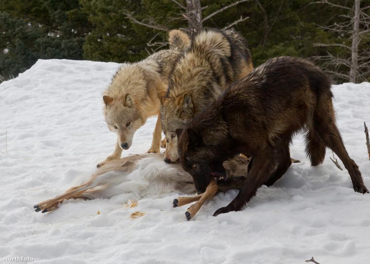 A farkasok jóízűen lakmároznak az elejtett szarvasból, amikor az óriási medve odamegy hozzájuk és ő is kér a vacsorájukból.