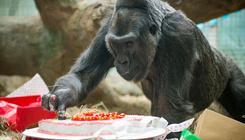 Elpusztult az állatkertben született első gorilla