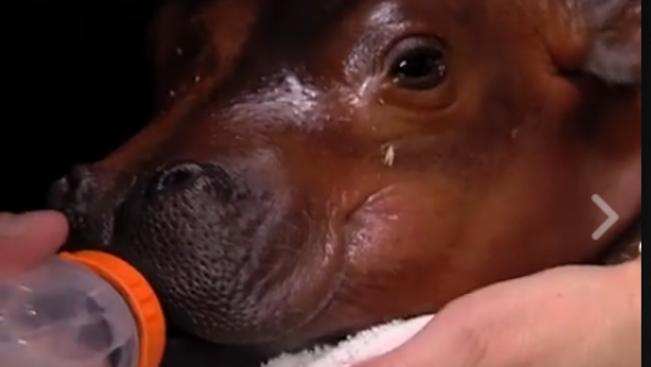 Látott már újszülött vízilóbébit videón? Most láthat