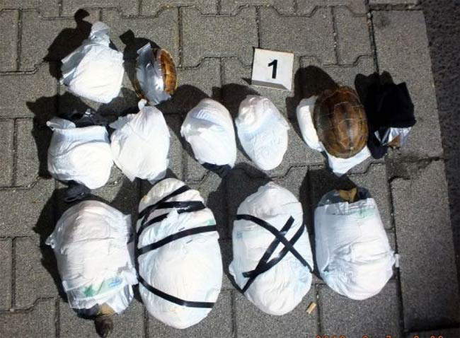 A teknősöket egy pelenkába csomagolva vitte át a reptéri ellenőrzésen, végül a közúton kapták el.