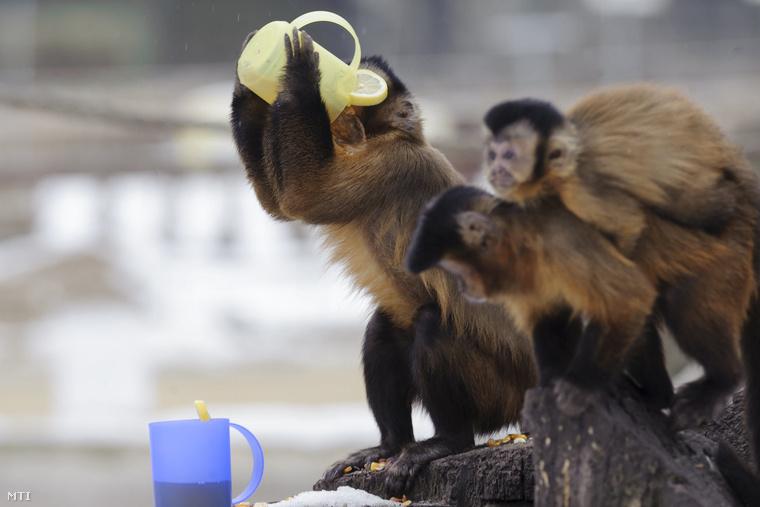 És akkor folytassuk állatokkal: a debreceni majmok ilyen édesen itták a forró teát.