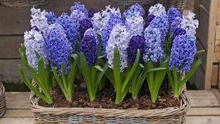 Erősen illatos, és könnyen tartható szobanövények