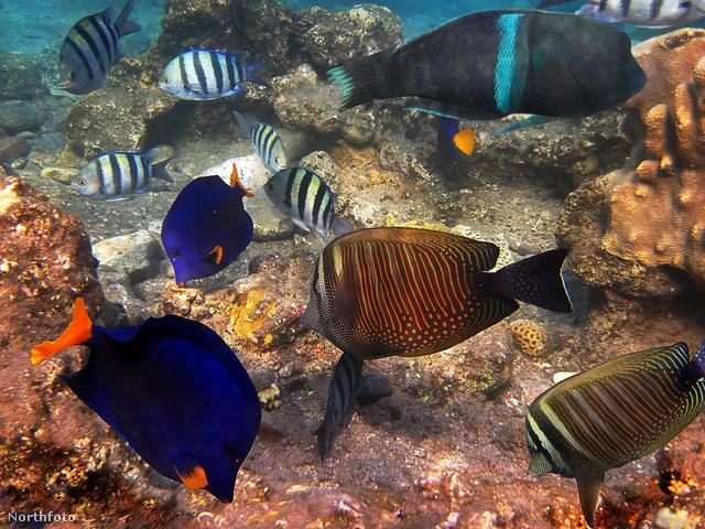 Vörös-tengeri halak