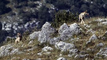 A farkasok megölése ellen tiltakoznak Olaszországban