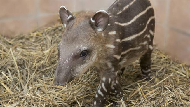 Adjon nevet a debreceni állatkert apró tapírbébijének!