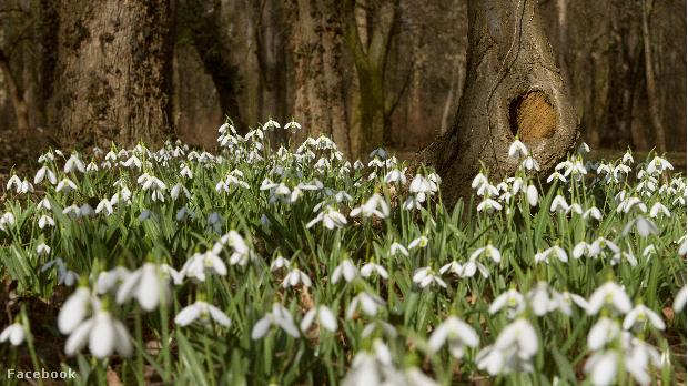 Február 20 és március 15 között szinte biztos, hogy láthatjuk a hóvirágmezőt