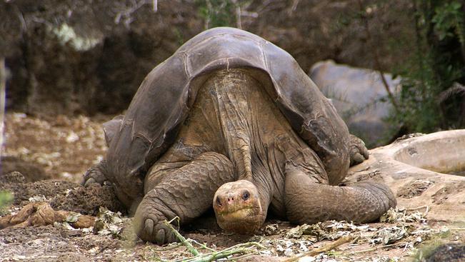 Hazatér a Galápagos-szigetekre a híres óriásteknős bebalzsamozott teste