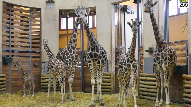 Zsiráf baba-mama szobává alakult a fővárosi állatkert zsiráfcsarnoka
