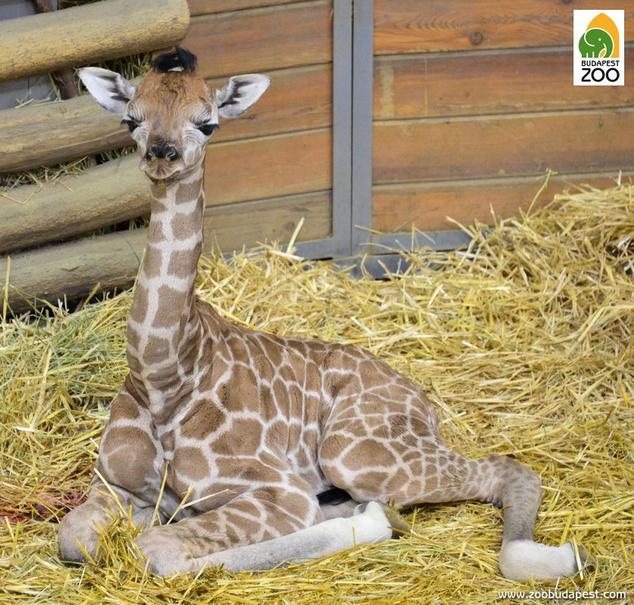 Sauda 2017 első újszülött állata