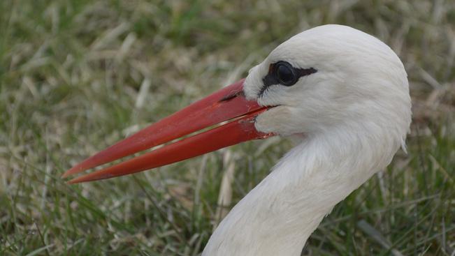 Ez a gólya hozza el nekünk a tavaszt