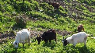 Színes kecskék, ragyogó napsütés