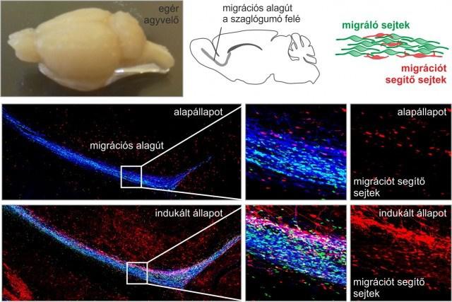 A vándorlást segítő sejtek aktivitásának változása mikroszkópos felvételeken