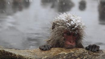 57 keresztezett hómajmot ölt meg egy japán állatkert