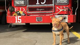 Tűzoltóként kezdett új életet Ashley, a bántalmazott pitbull