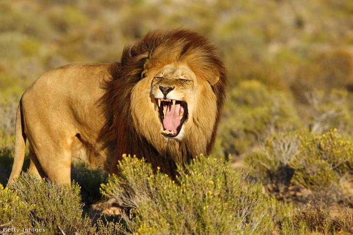 Ezt az oroszlánt sem láthatták arrafelé