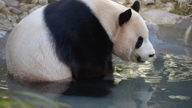 Hatalmas nemzeti parkot kapnak az óriáspandák Kínában