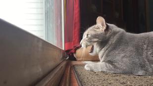 Charlie, a brekegő cica a Youtube új sztárja