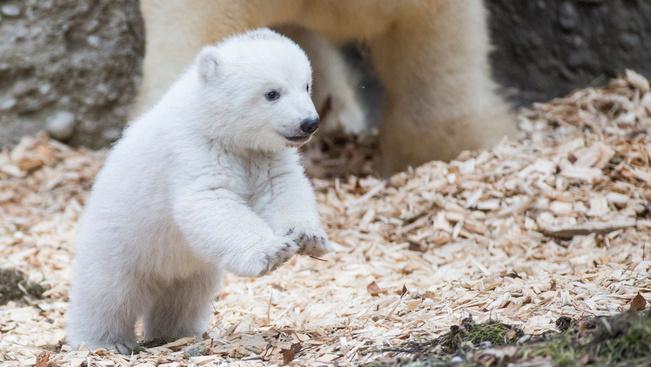 Egy jegesmedvebocs első lépései a szabadban