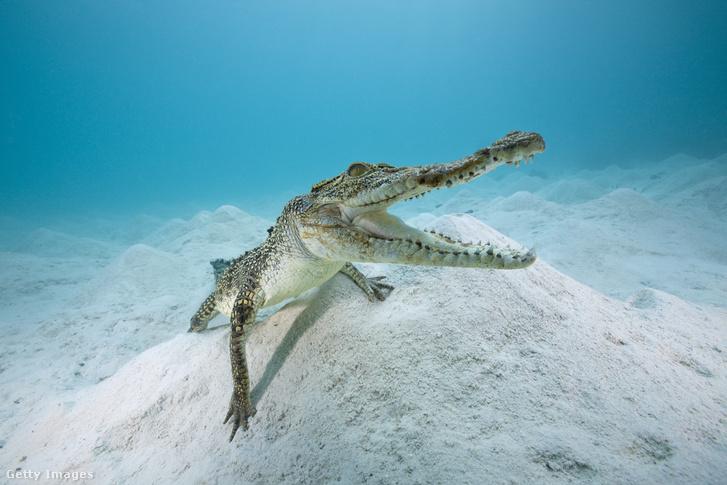 Egy fiatal sós vízi krokodil (Crocodylus porosus)