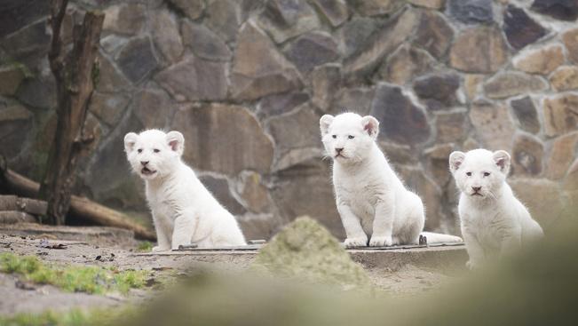 Három apró fehér oroszlán ma Nyíregyháza legcukibb lakója