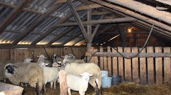 Magyarországon nem éri meg báránytolvajnak lenni