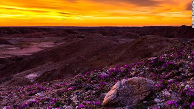 Lenyűgöző látvány a kivirágzott sivatag Kaliforniában