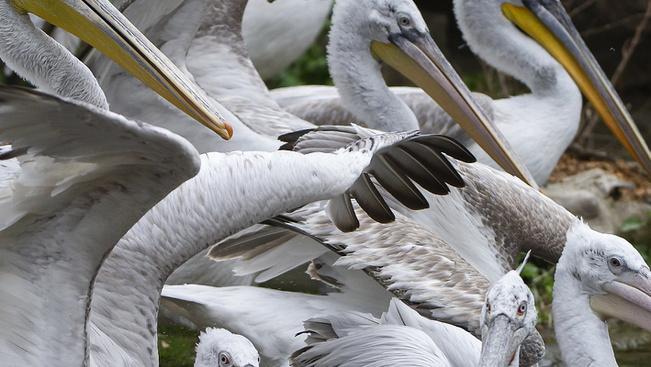 Az összes pelikánt elaltatták a bécsi állatkertben madárinfluenza miatt