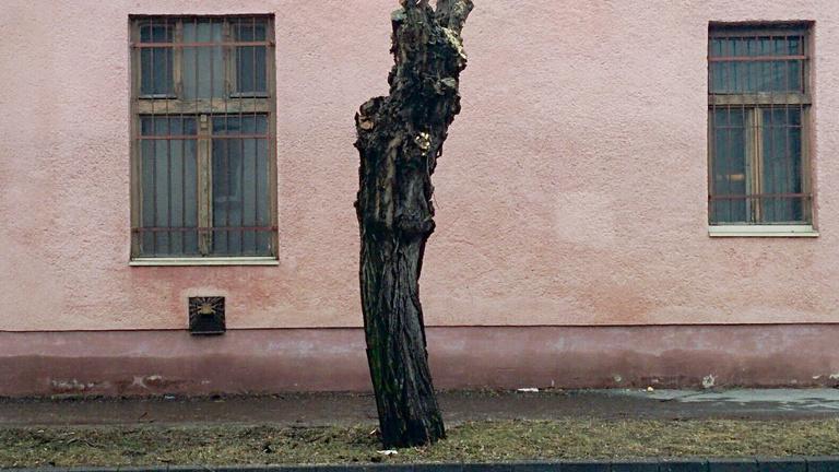 Miért vágják vissza olyan durván a budapesti fákat?