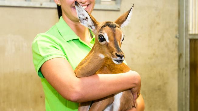 Bambi-szemű impala született Veszprémben