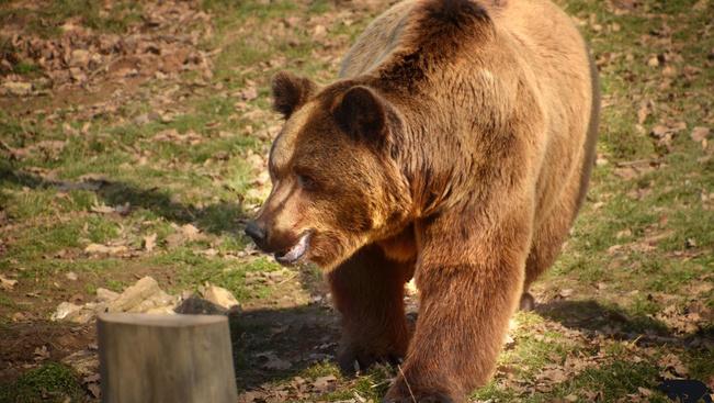 Két barnamedve érkezett a Budakeszi Vadasparkba