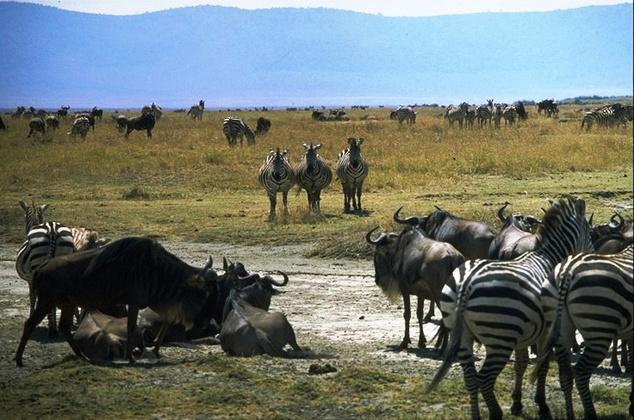 Zebrák és gnuk az Ngorongoro nemzeti parkban