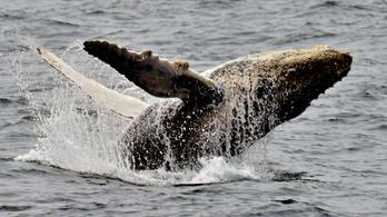 Furcsán viselkednek a púpos bálnák