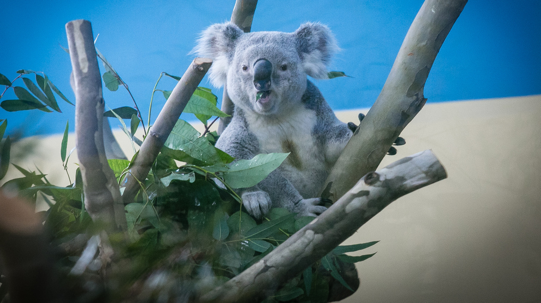 19-koalak-150305-IMG 9098