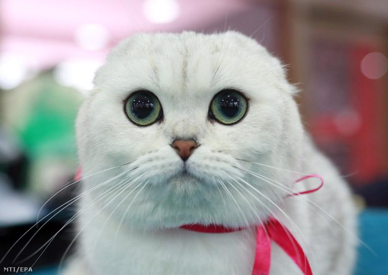 Ez a skót lógófülű gyönyörű és szemmel láthatóan hipnotikus képességekkel is rendelkező cica egy csapásra megbabonázta tekintetével a fél világot.Mindenki nyugodjon le, ez csak egy kiállítás!