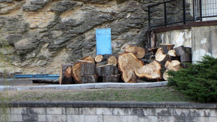 A nyárfa feldarabolt törzse