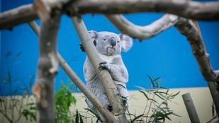 Elpusztult Nur-Nuru-Bin, a fővárosi állatkert egyetlen koalája